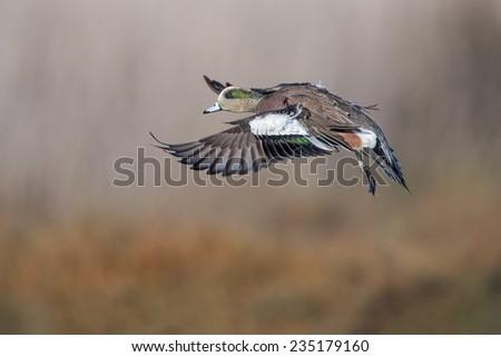 American Wigeon - stock photo
