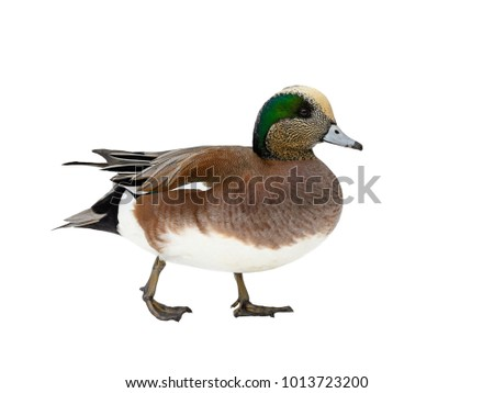 American Wigeon Portrait on White Background, Isolated