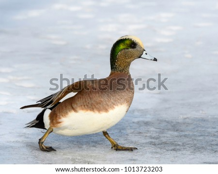 American Wigeon Walking in Winter
