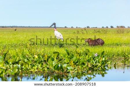 American Wood Stork (Mycteria americana) and capybara male in the El Cedral - Los Llanos, Venezuela, Latin America - stock photo