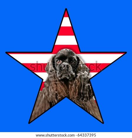 AmericanCocker spaniel dog Portrait in a star with stripes in background - stock photo