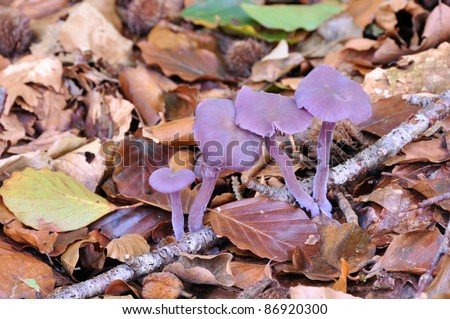 Amethyst Deceiver (Laccaria amethystina) - stock photo