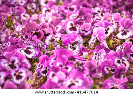 Amethyst purple and white garden pansy flowerbed - beautiful violet blooming background - Latin: Viola Tricolor variation Hortensis, known also as the football flower - stock photo