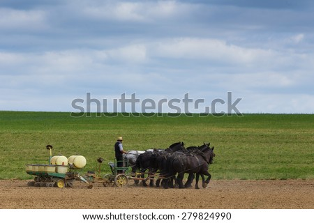 Amish planting corn with team of mules - stock photo
