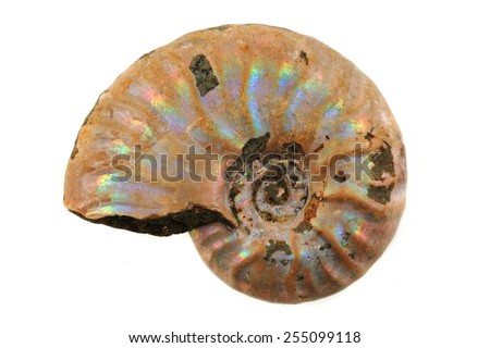 ammonite fossil isolated on the white background - stock photo