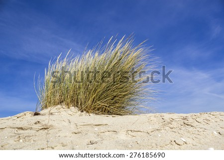 Ammophila arenaria, a species of grass known by common names European marram grass and European beachgrass. Native to coastlines of Europe and North Africa where it grows in the sands of beach dunes. - stock photo