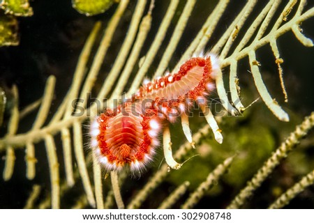Amphinomidae are a group of marine polychaetes,fireworms on coral reef - stock photo
