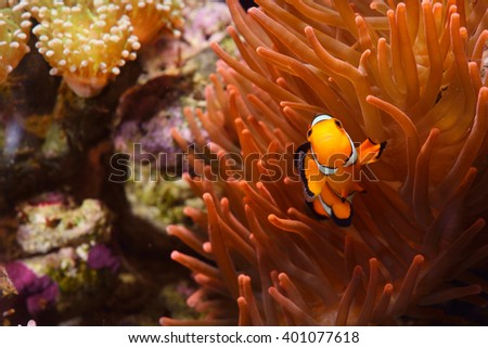 Amphiprion Ocellaris Clownfish In Marine Aquarium - stock photo