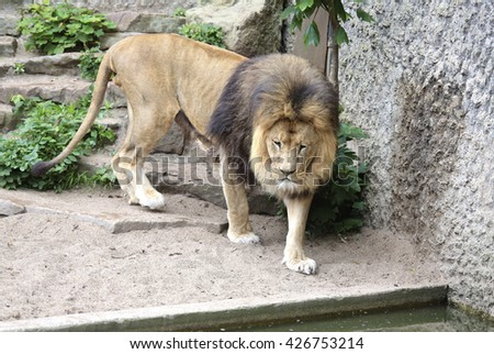 Amsterdam, Holland - May 2015: A lion in a dutch zoo - stock photo