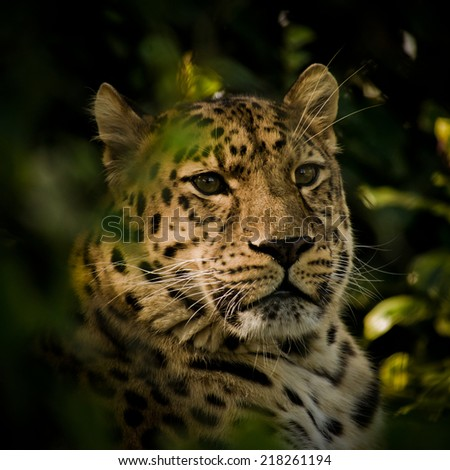 Amur Leopard - stock photo