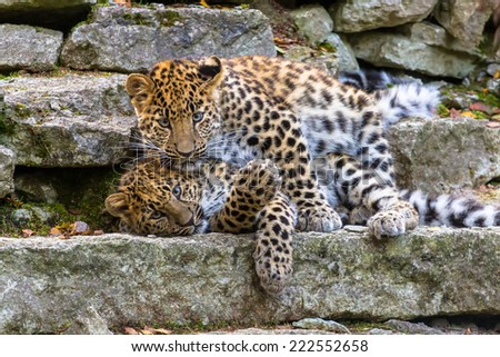 Amur leopard cubs playing - stock photo