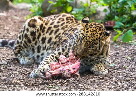 Amur leopard eating meat and looking straight forward