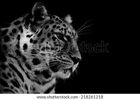 Amur Leopard in Black and White - stock photo
