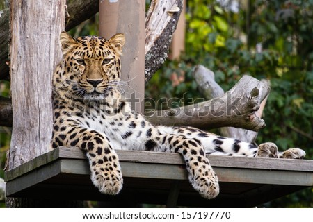 Amur leopard lying on the ledge and looking towards the camera - stock photo