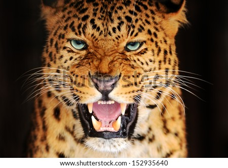 Amur Leopard portrait in nature