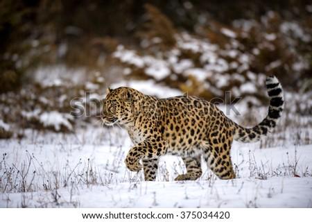 Amur leopard walking in a snowy forest  - stock photo