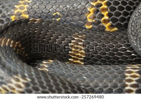 Amur ratsnake - Elaphe schrencki. - stock photo