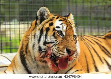 Amur tiger eating at zoo. - stock photo