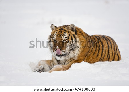 Amur tiger is sitting on icy floor. There are snowflakes on his body. Hearose feeling of strength. Amur tiger is licking himself.