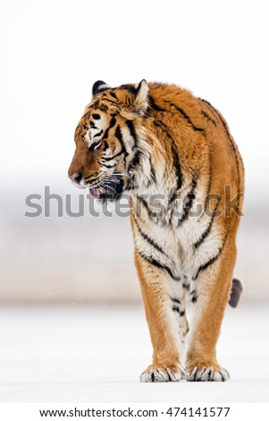 Amur tiger is standing on ice like a statue and his entire body can seen. Looking somewhere with carefully. He arose feeling of thrill. Frontal view of Amur tiger.