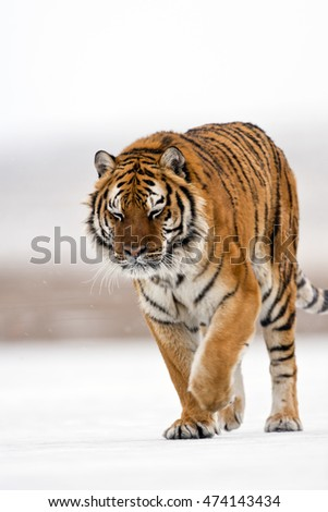 Amur tiger is walking angrily. Amur tiger is walking on ice and snow proudly. One of his paw on ground and the other one is lifted on for walking movement. One of his forelegs is the lifted on.