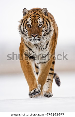 Amur tiger is walking angrily. Amur tiger is walking on ice and snow proudly. One of his paw on ground and the other one is lifted on for walking movement. Frontal view of Amur tiger.
