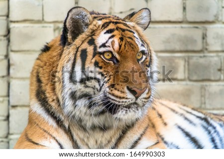 Amur tiger looking into the distance closeup