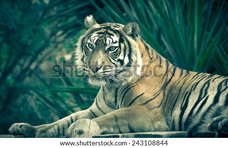 Amur tiger lying on a platform of planks - stock photo