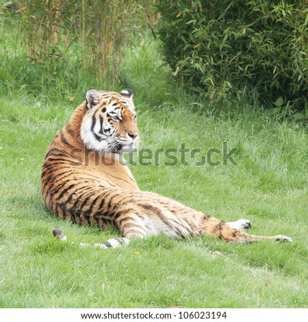 Amur Tiger or Siberian tiger lying on green grass. - stock photo