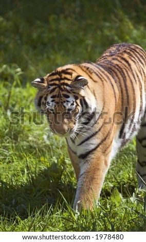 Amur Tiger (Panthera tigris altaica) Stalks in Grass