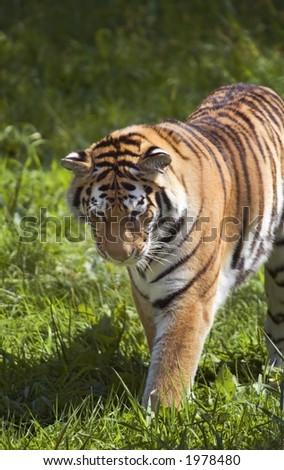 Amur Tiger (Panthera tigris altaica) Stalks in Grass - stock photo