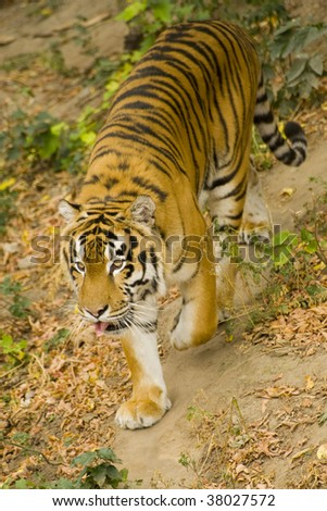 Amur tiger sneaks on a path - stock photo