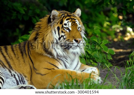 Amur Tigers on grass in summer day - stock photo