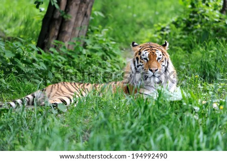 Amur Tigers on green grass in summer day - stock photo