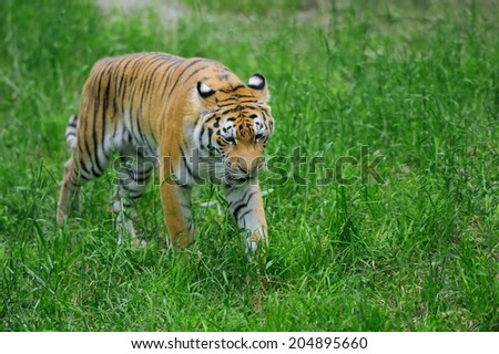 Amur Tigers on green grass in summer day
