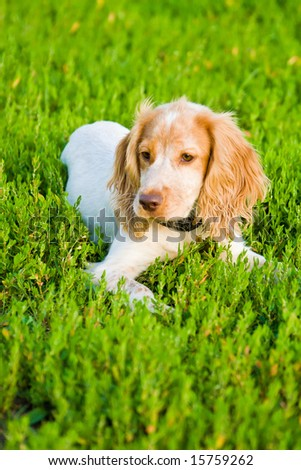 Amusing dog lays on a green grass