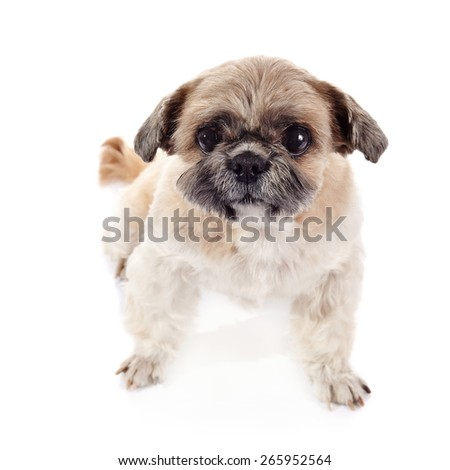 Amusing small beige doggie of breed of a shih-tzu - stock photo