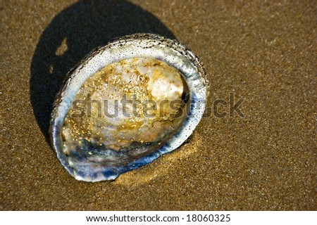 An abalone shell in the sand