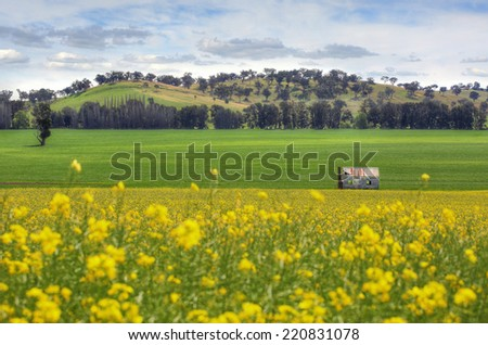 An abandoned farmhouse sits in fields of Canola and wheat undersown with lucerne.  Rolling hills and pretty sky form a picturesque backdrop to this scenic countryside view. - stock photo