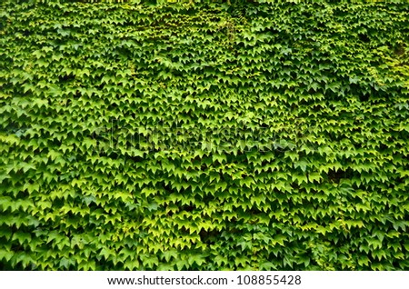 An Abstract Background Texture Of An Ivy Covered Wall - stock photo