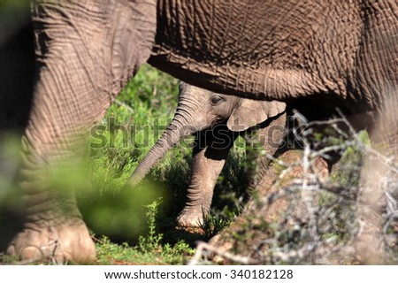 An abstract black and white image of a baby elephant calf protected by its herd of elephants. close up image from safari in South Africa. - stock photo