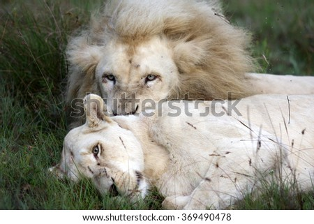 An abstract image of a male lion and a female lioness about to mate. South Africa - stock photo
