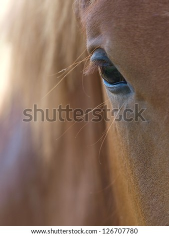 An abstract shot of the eye and side of the face of a suffolk punch horse. - stock photo