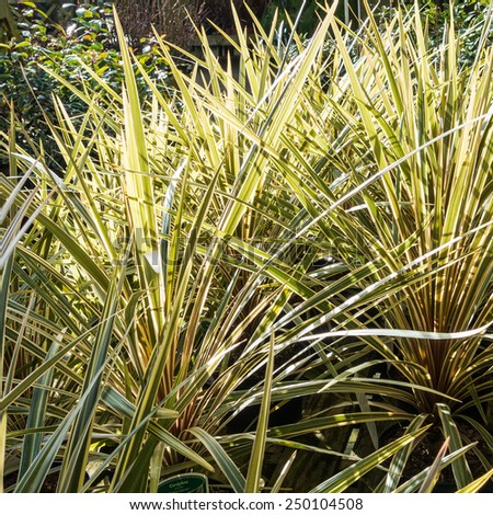 An abstract shot through the leaves of some cordyline plants. - stock photo
