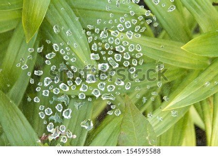 An abstract view of Lily leaves with a spider that made it web across and the last of the raindrops from the great Colorado flood with diamond reflections.  - stock photo
