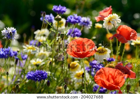 An abundance of wild flowers in summer meadow with red poppies and blue cornflowers on community garden allotment. - stock photo