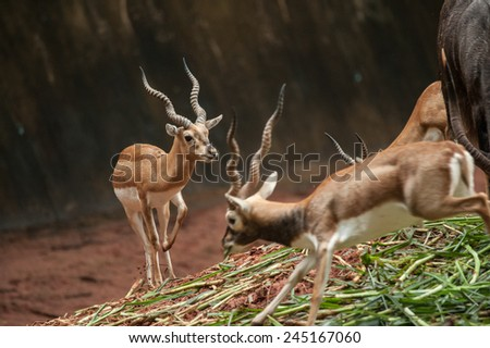 An action of a beautiful male impala ram. - stock photo