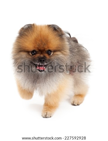 An active Pomeranian Dog walking froward with mouth open.