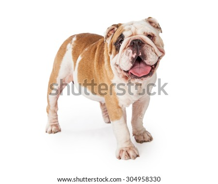An adorable and happy Bulldog standing at an angle while looking into the camera.