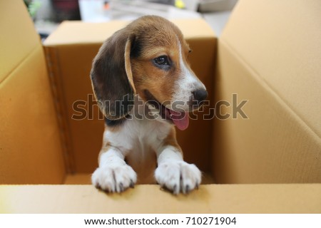 adorable beagle puppy hold box edge stock photo royalty free